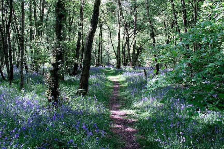 Bluebells in Gilsland Spa Woods